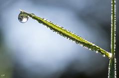 Goutte et bokeh (31). (gille33) Tags: macro nature drops waterdrop bokeh drop droplet waterdrops goutte sigma150 nikond810 gillesremus
