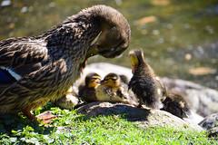 Happy life (Maria Eklind) Tags: city nature water pond europe sweden outdoor ducks ankor damm malm slottsparken nder dunbollar