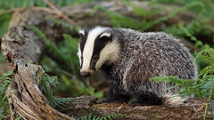 One very cute badger cub... As see on TV (BBC Springwatch, UnSprung and the Springwatch Home page) (Cosper Wosper) Tags: somerset badger levels bbc 2018 2016 springwatch unsprung 2017 springwatchlive 2019 iplayercamera1