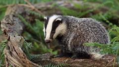 One very cute badger cub... (Cosper Wosper) Tags: somerset badger levels