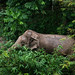 Elephas maximus indicus, Indian elephant - Kaeng Krachan National Park