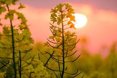 Yellow Sunset (Hkan Dahlstrm) Tags: sunset sky field yellow photography se skne sweden uncropped f71 raps rapeseed trelleborg 2016 skneln xe2 180sek xc50230mmf4567ois trelleborgv 2119052016204500
