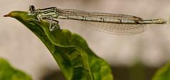un fisico bestiale... (andrea.zanaboni) Tags: macro colors fly eyes nikon ali occhi dettagli colori libellula damsel