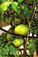 Tomatoes (NancySmith133) Tags: vegetables tomatoes homegrown backyardgardens centralfloridausa