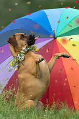 Flowerrain .. ;-) (Claudia Brockmann) Tags: flowers dog dogs umbrella wildlife natur blumen hund hunde regenschirm