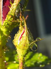 the rose (schasa68) Tags: flower macro nature rain rose outdoor natur pflanze olympus om10 blume makro regen nahaufnahme omd knospe schrfentiefe regentropfen tiefenschrfe bltenerwachen