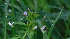 ดอกผักเสี้ยนผี ใบหญ้า น้ำค้าง แมลงมุม จากกล้องโซนี่