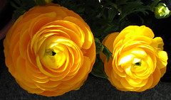 two yellow ranunculus (lisafree54) Tags: plant flower nature yellow free ranunculus cco freephotos