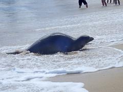 Kauai 2016 (carrie227) Tags: hawaii seal kauai poipu endangered endangeredspecies monkseal hawaiianislands