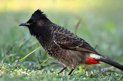 Red-vented bulbul (Fiji) (|kris|) Tags: redventedbulbul red bulbul pycnonotuscafer animal bird vogel nature wild wildlife outdoor black brown white crest chordata aves passeriformes pycnonotidae pycnonotus pcafer molpastescafer molpasteshaemorrhous fiji rakiraki pycnonotuspygaeus songbird dark plumage patch cheek rusblbl india bulbulcafre bulbuldecaudalroja bulbulventrirrojo roodbuikbuulbuul bulbulventrerouge    rdgumpadbulbyl   kalabulbul bulbuli guldum kondanchiradi  kempudwaradapikalara piglipitta bhilbhil paklom peetrolyo bulbulisorai kalapainju bulubul kondalati hadiyobulbul manclephpho nilibetom daobulip inruibulip lalbudyabulbul kondaikuruvi nattubulbul kondakurulla coth5