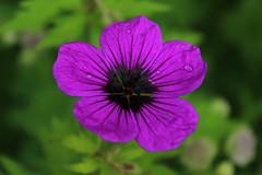 Purple drops (Alex Mary) Tags: flowers summer plants plant flower colour macro nature rain birmingham purple bright raindrops birminghambotanicalgardens
