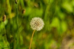 Pusteblume (JBsLightAndShadow) Tags: summer field sunshine nikon sommer feld felder sunny dandelion fields heidelberg sonnig sonnenschein lwenzahn pusteblume blowball dandelionseed dandelionseedhead nikond3300 d3300