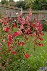 HALESWORTH, SUFFOLK (meddie / aka Gramps) Tags: pink blue red flower green suffolk hydrangea hosta geranium halesworth pelargonium penstenom