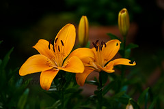 Asiatic Lily 8 (LongInt57) Tags: red orange brown canada flower green nature leaves yellow garden leaf petals lily bc blossom okanagan stamens pistil lilies bloom kelowna pollen stigma asiatic