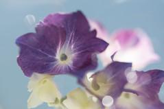 Sun Shower (jeanmarie shelton) Tags: jeanmarie jeanmarieshelton hydrangea flower colors water waterdrops droplets drops dof macro upclose closeup purple blue bokeh flora sunlight summer