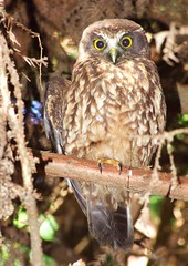 Morepork (jimjiraffe) Tags: bird fuji nz owl morepork taranaki newplymouth ruru nativebirds s6500fd nznativebirds bellblock nativeowl