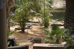 Oasi Park 1 - Fuerteventura (urbiex) Tags: fuerteventura crocodiles canarie coccodrilli oasipark