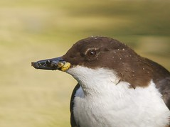 Dipper (Alistair Prentice.) Tags: county portrait male up female river canal fly close nest feeding pentax young sigma 150 500 prentice dipper armagh kx dippers cadis cusher cadisfly