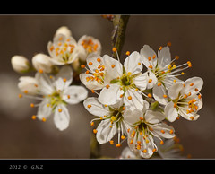 Prunus spinosa (Greet N.) Tags: flowers march spring drente blackthorn prunusspinosa sleedoorn fantasticflower