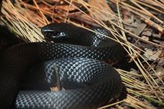 Black Snake (*SoniaC*) Tags: sydney australianwildlife sydneywildlifeworld