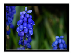 Heavenly Blues ~ (Lisa Sabater-Mozo) Tags: white rock bc grape hyacinth