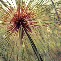 S p o t (gHopson.) Tags: plant planta colors nikon spot ii 1855 tigre vr d90