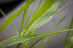 The Droplets (lemmingby) Tags: lake green water leaves droplets drops travels trips belarus roseta braslav otherwheres braslavlakes rosetamansion drivyaty