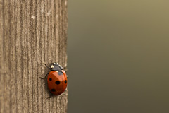 Vertical Limit (www.paulshearsphotography.com) Tags: wood red brown white black macro art nature closeup digital photoshop canon bug garden insect walking outside outdoors photography eos climb photo moving wooden cross post zoom walk pass picture gap 11 move 100mm dot spots photograph ladybird spotted dots ef digitalphotography redandblack lightroom 1x macrophotography undergrowth blackred blackandred redblack woodentable woodpost woodenpost f28l isusm 60d paulshearsdigitalphotography paulshears