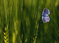 Blue & Green (da.geli) Tags: blue green butterfly wheat commonblue mygearandme mygearandmepremium