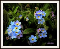 Forget Me Not~EXPLORE #172 (clickclique) Tags: pink blue flower garden spring tiny forgetmenot butterflydreams natureiswonderful
