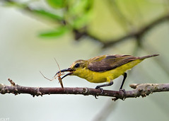 Olive-backed Sunbird-  Cinnyris jugularis (1) (Andy_LYT) Tags: bird spider nikon prey sunbird cinnyrisjugularis olivebacked d7000