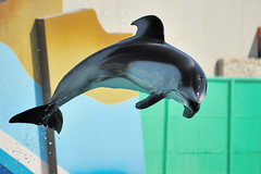 Jumping Dolphin(at The Kamogawa Sea World (kazu4313123) Tags: dolphin