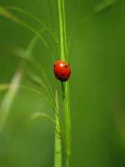 Remarquable ** (Titole) Tags: red green grass ladybird ladybug herbe coccinelle unanimouswinner friendlychallenges thechallengefactory titole nicolefaton