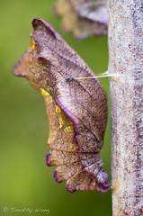 Puipevine Swallowtail-7680 (Timtastic!) Tags: butterfly aristolochia pupa pipevineswallowtail diapause battus hirsuta philenor chyrsalis