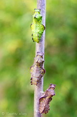 Puipevine Swallowtail-7698 (Timtastic!) Tags: butterfly aristolochia pupa pipevineswallowtail diapause battus hirsuta philenor chyrsalis
