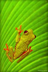 Red-eyed Tree Frog (Steve Corey) Tags: club hope costarica ray amphibian daily sierra frogs redeyedtreefrog droh tropicalfrog leaffrog dailyrayofhope exoticfrog dailyrayofhope2012