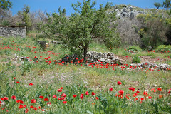Spring poppies. (Sky and Yak) Tags: wall spring greece poppy wildflowers corfu