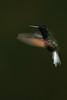 Black-bellied Hummingbird, Eupherusa nigriventris (mikebaird) Tags: bird costarica hummingbird getty gettyimages mikebaird blackbelliedhummingbird eupherusanigriventris 09may2012