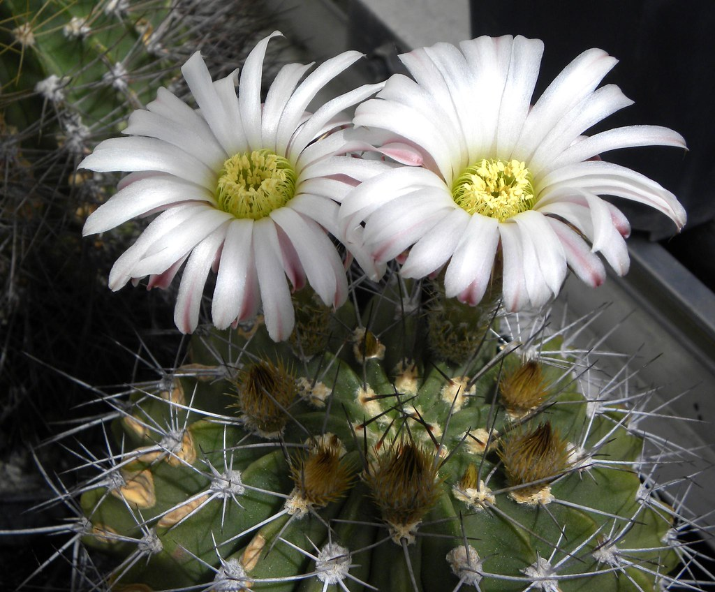 The Worlds Newest Photos Of Acanthocalycium And Spiniflorum