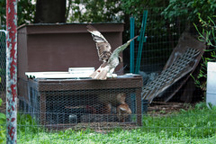 Cooper's Hawk vs chicken coop