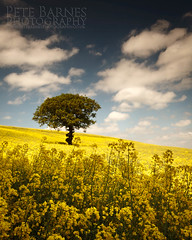 Lone Tree in a Field of Oil Seed Rape (Pete Barnes Photography) Tags: summer sky cloud hot tree field yellow clouds landscape farm sunny scene clear lonelytree oilseedrape landscapephotography landscapephotographer