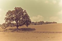 Lone Oak (law_kid) Tags: film vintage fence virginia weird iso200 oak farm retro pasture expired canona1 lonetree expiredfilm fujifimsuperia