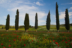 Tuscany poppy and wildflower field (ncs1984) Tags: trees italy flower tree tuscany poppy poppies cypress poppyfield