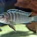 Tropheops sp. 'elongatus boadzulu' Boadzulu Island