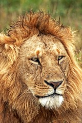 Out of Africa (Picture Taker 2) Tags: africa morning wild nature beautiful animal closeup cat colorful pretty native wildlife pride bigcat hunter wilderness plains predator upclose masaimara wildanimals africaanimals masimarakenya almostanything wowiekazowie flickrbigcats