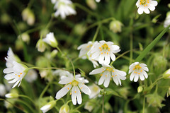 Stitchwort (hockadilly) Tags: flower roadside wildflower stitchwort stellariaholostea greaterstitchwort