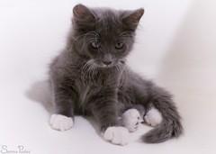 20080926_9999_175b (Fantasyfan.) Tags: bw pet cute dusty animal topv111 cat hair furry topv333 bath kitten long sitting gray fluffy colorless sena fantasyfanin highqualityanimals