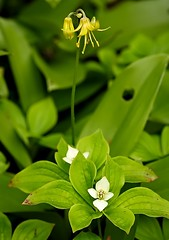 On the Forest Floor (Karen_Chappell) Tags: white flower green nature floral yellow forest newfoundland woods wildflower nfld clintoniaborealis bunchberry cornlily cornuscanadensis bluebeadlily crackerberry