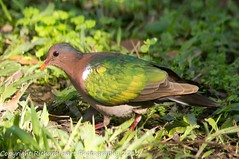 Emerald Dove (SillyOldBugger (in and out of internet range)) Tags: wild male bird dove australian australia aves queensland handheld sunshinecoast avian yandina wildbird emeralddove chalcophapsindica minolta3004hsg sonya55 sonyalpha55 sonydslta55 wildbirdaustralia minolta300f4hsglens sony14apoteleconverter a55birdingrig
