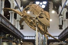 Plesiosaur (DMeadows) Tags: history museum fossil scotland university dinosaur display glasgow teeth exhibit historic collection bones exhibits artefact artefacts plesiosaur hunterian davidmeadows cryptoclidus dmeadows davidameadows dameadows